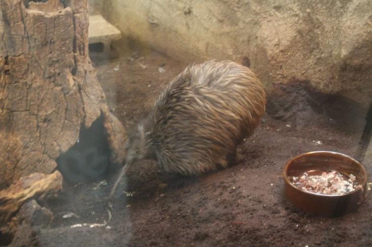 天王寺動物園×ニュージーランド国鳥 「キウイ」