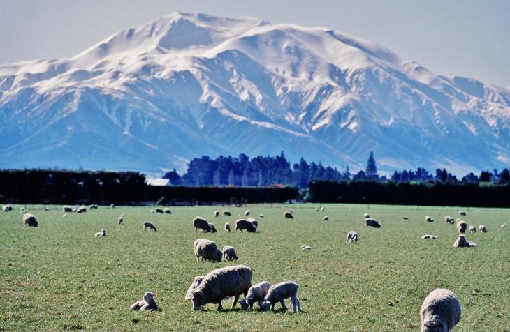 ニュージーランド羊の大群