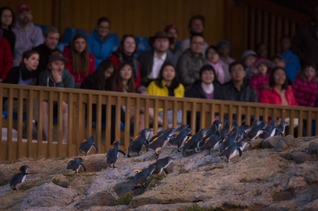 Oamaru Blue Penguin Colony 1