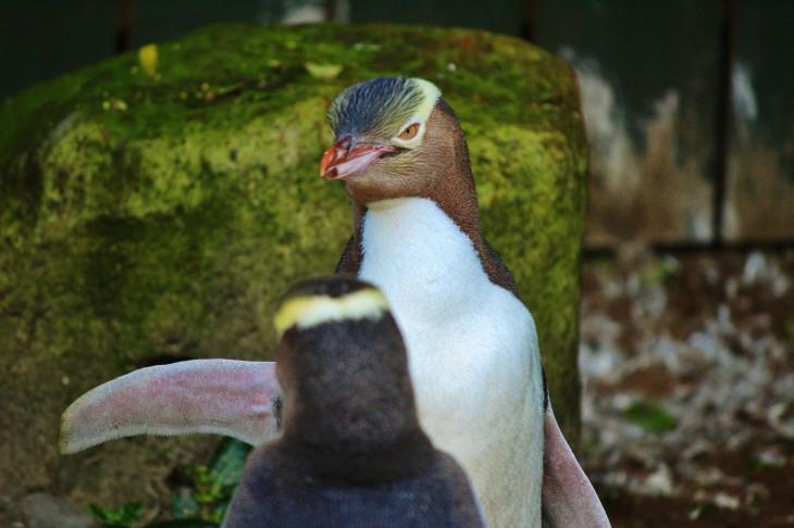 ペンギン・プレイス in ダニーデン