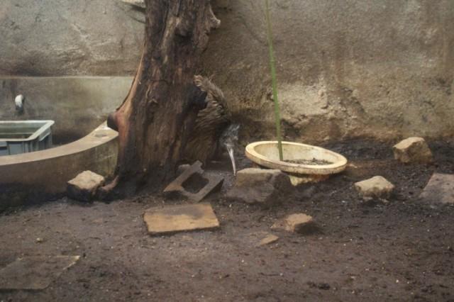 ニュージーランドの国鳥キーウィを日本で見ることができる!?